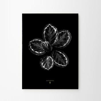 Calathea Roseopicta Poster 50x70