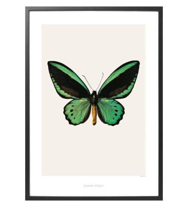 S3 Poster 42x59 Ornithoptera Priamus Priamus