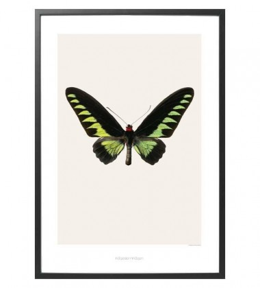 S5 Poster 42x59 Ornithoptera Brookiana Albescens