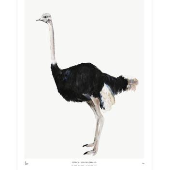 Poster Into The Wild 30x40 Ostrich STRUŚ