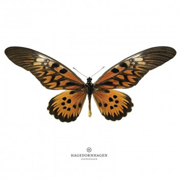 S16 Poster 70x100 BROWN BUTTERFLY
