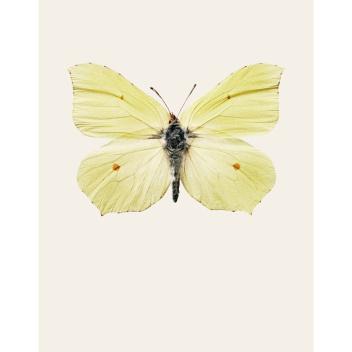 S7 Poster Motyl GONEPTERYX RHAMNI 42x59 Żółty