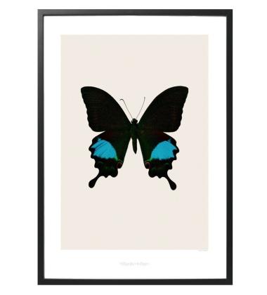 S2 Poster Motyl 42x59 Papilio paris gedeensis