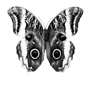 BW3 Poster Motyl 70x100 BLACK BUTTERFLY
