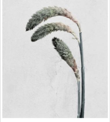 Poster 50x70 BOTANICA Pennisetum By Vee Speers