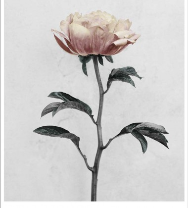 Poster 15x21 BOTANICA Paeonia By Vee Speers