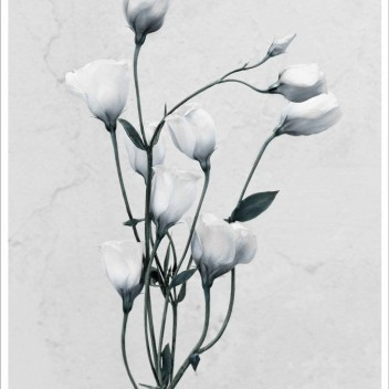 Poster 15x21 BOTANICA Eustoma Grandiflorum By Vee Speers