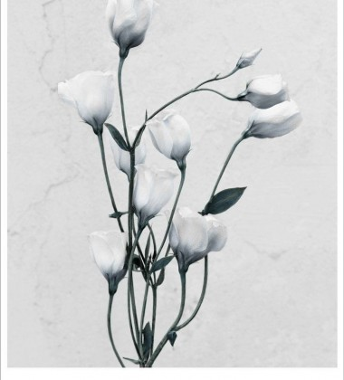 Poster 15x21 BOTANICA Eustoma Grandiflorum By Vee Speers