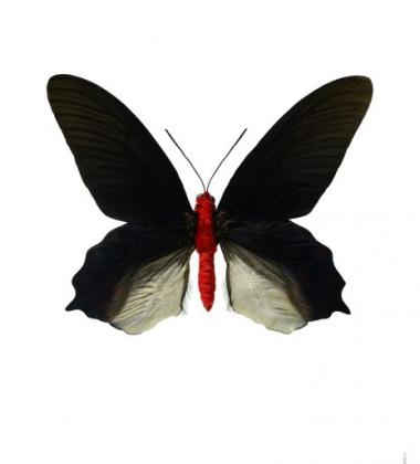 Poster motyl 50x70 Atrophaneura Semperi Albofasciata Czerwony