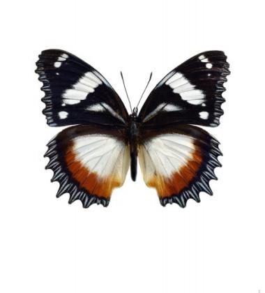 Poster motyl 30x40 Hypolimnas Dexithea Brązowy