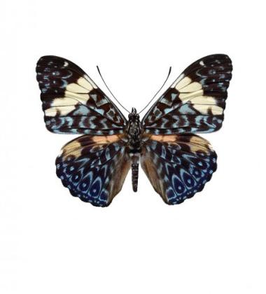 Poster motyl 30x40 Papilio Aegeus Brązowy