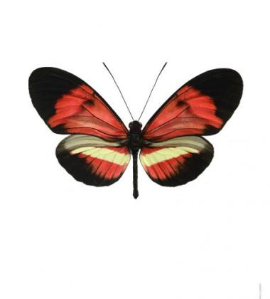 Poster motyl 30x40 Heliconius Melpomene Hybrid Czerwony