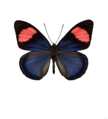Poster motyl 30x40 Batesia Chrysochlora Niebieski