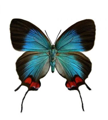 Poster motyl 50x70 Evenus Coronata Niebieski
