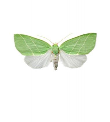 Poster ćma A4 Bena Biclorana Zielona