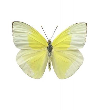 Poster motyl 30x40 Aphrissa Statika Żółty