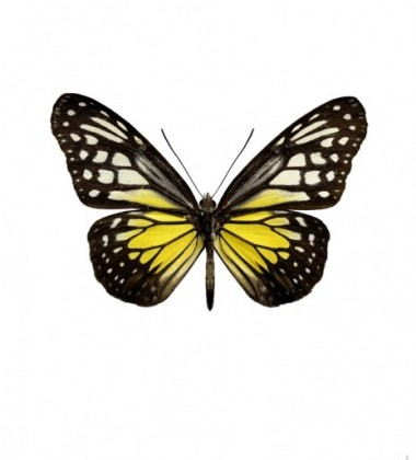 Poster motyl 30x40 Parantica Aspasia Cerilla Żółty
