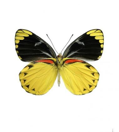 Poster motyl 30x40 Delias Splendida Żółty