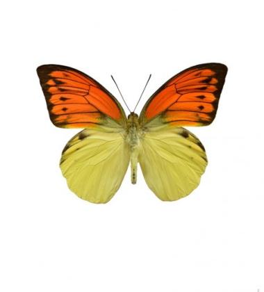 Poster motyl 30x40 Hebomoia Leucippe Żółty