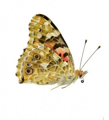 Poster motyl 30x40 Cynthia Cardui Side Żółty