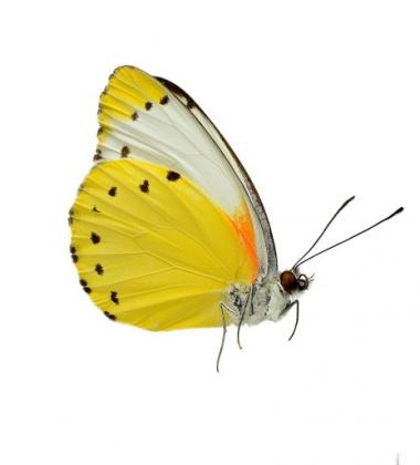 Poster motyl 30x40 Mylothris Agathina Side Żółty