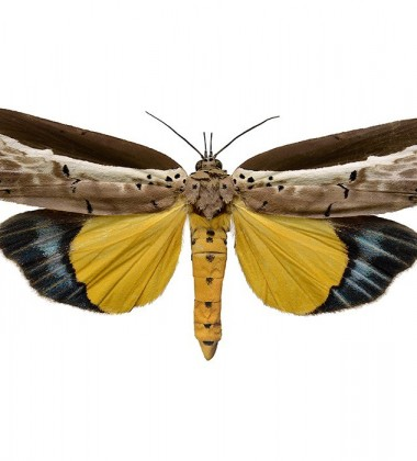 Poster ćma 50x70 Ailanthus Defoliator Landscape Żółta