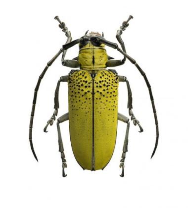 Poster żuk 30x40 Celosterna Pollinosa Sulphurea Zielony
