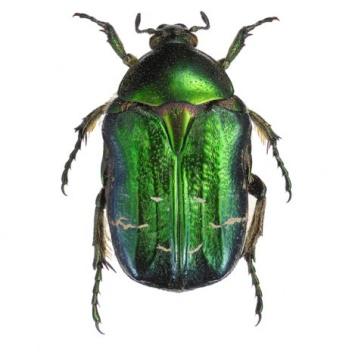 Poster żuk 30x40 Cetonia Aurata Green Zielony