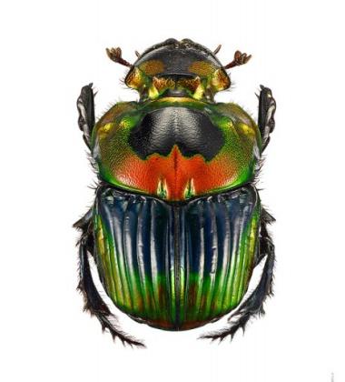 Poster żuk A4 Phanaeus Imperator Female Zielony