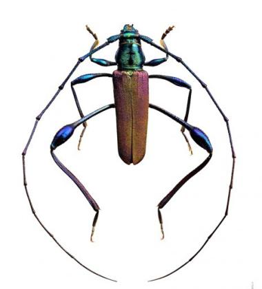 Poster żuk 50x70 Mombasius Aeneipes Różowy