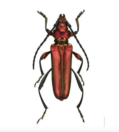 Poster żuk 30x40 Anexamita Heterocnemis Splendida Czerwony