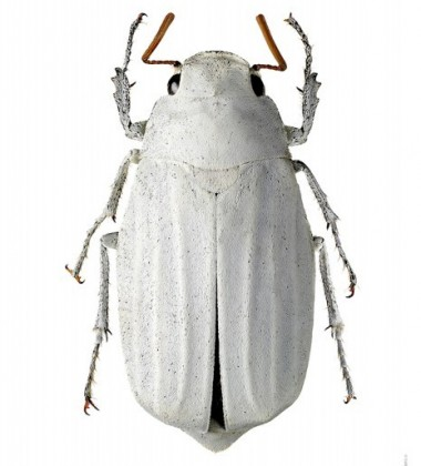 Poster żuk 30x40 Lepidiota Stigma Biały