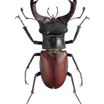 Poster żuk 30x40 Lucanus Cervus Male Brązowy
