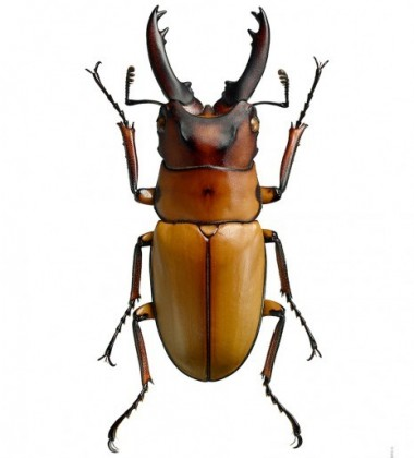 Poster żuk 30x40 Prosopocoilus Occipitalis Anoella Miodowy