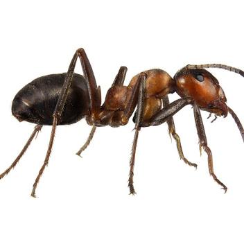 Poster mrówka 30x40 Formica Rufa Landscape Brązowa