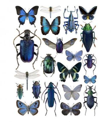 Poster motyle i żuki 30x40 Blue Bugs