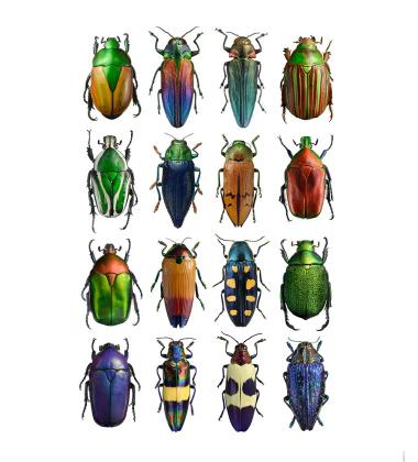 Poster żuki 30x40 Multicolour Beetles Bugs