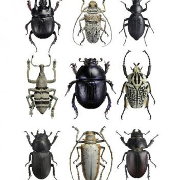 Poster żuki 30x40 Beetles Black-White