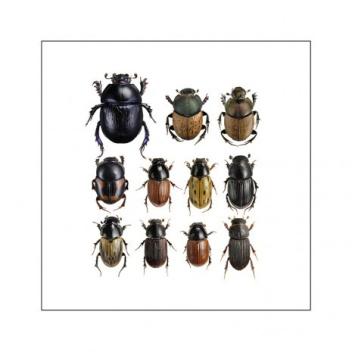 Poster żuki 40x40 Dung Beetles Square