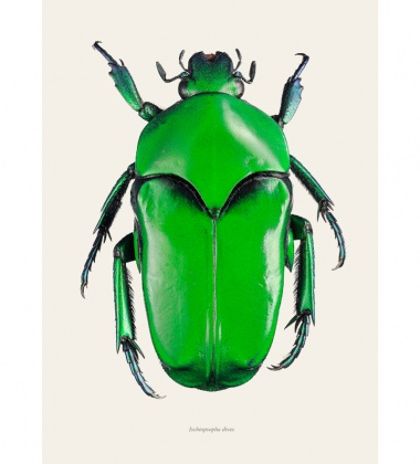 Poster żuk 30x40 Ischiopsopha Lucivorax Tinted B