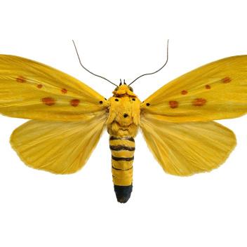 Poster ćma 30x40 Agape Chlorophylla Żółta