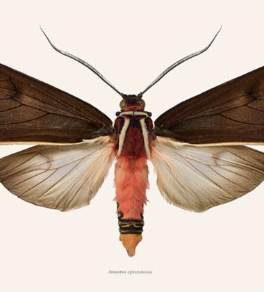 Poster ćma 50x70 Amastus Episcotosia Tinted B