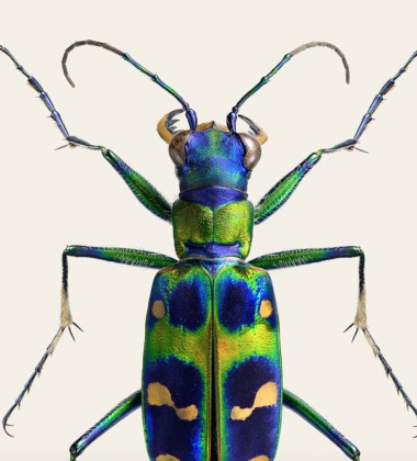 Poster żuk 30x40 Cicindela Chinensis Japonica Tinted B