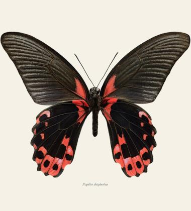 Poster motyl 30x40 Papilio Deiphobus Tinted B