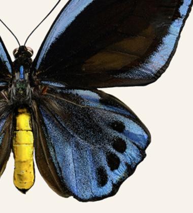Poster motyl 30x40 Ornithoptera Priamus Tinted B
