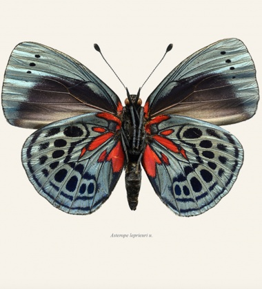 Poster motyl 30x40 Asterope Leprieuri Tinted B