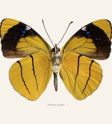 Poster motyl 30x40 Perisama Xanthica Tinted B