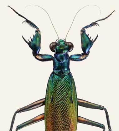 Poster modliszka 30x40 Metallyticus Splendidus - Iridescent Bark Mantis Tinted B