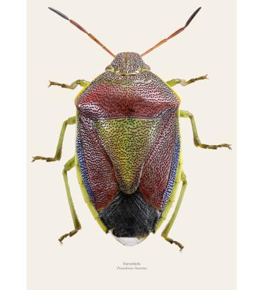 Poster pluskwiak A4 Stink bug Piezodorus Lituratus Tinted B