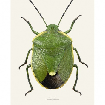 Poster pluskwiak A4 Stink bug Chlorochroa Juniperina Tinted B